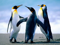 King Penguin image