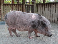 pig/pig_Pot-bellied_Pigimage2