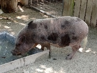 Pot-bellied Pig image