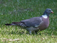 Common Wood Pigeon image