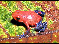 Strawberry Poison-dart Frog image