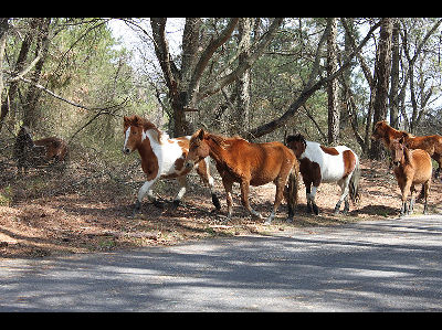 Pony  -  Chincoteague
