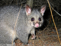 Common Brushtail Possum image