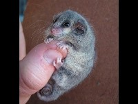 Little Pygmy Possum image