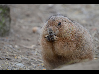 Black-tailed Prairie Dog image