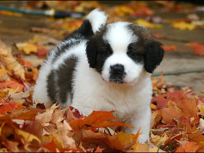 Puppy  -  Saint Bernard