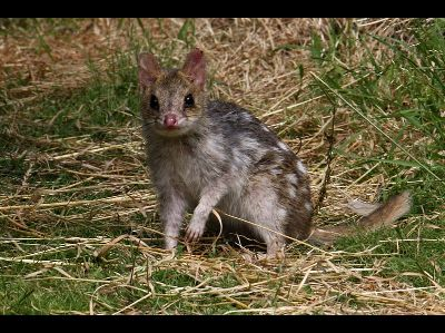 Quoll  -  Eastern Quoll