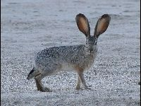 Black-tailed Jackrabbit image