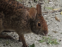 Marsh Rabbit image