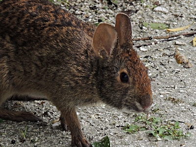 Rabbit  -  Marsh Rabbit