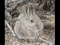 Pygmy Rabbit image