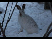 Snowshoe Hare image