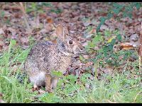 Swamp Rabbit image