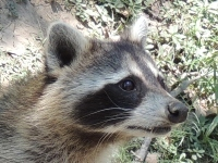 Northern Raccoon image