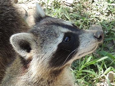 Raccoon  -  Northern Raccoon