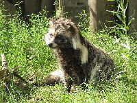 Raccoon dog image