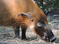 Red River Hog image