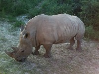 rhinoceros/rhinoceros_White_Rhinocerosimage1
