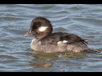 Bufflehead Duck image