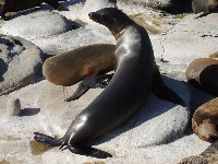 California Sea Lion image