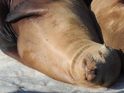 Sea Lion  -  California Sea Lion
