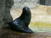South American Fur Seal image