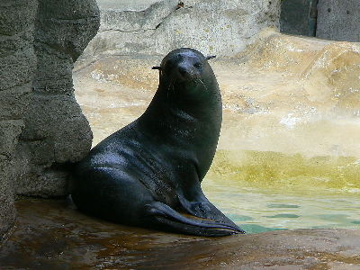 Seal  -  South American Fur Seal
