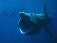 Basking Shark image