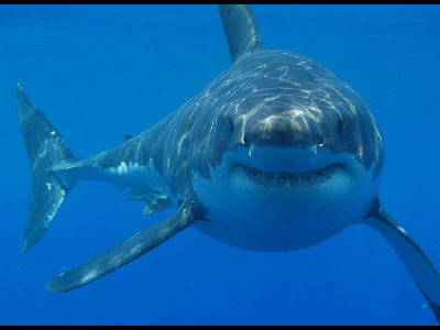 Shark  -  Great White Shark