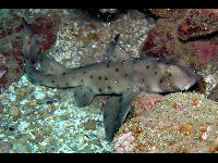 Port Jackson Shark image