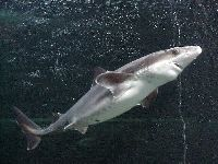 Spiny Dogfish image