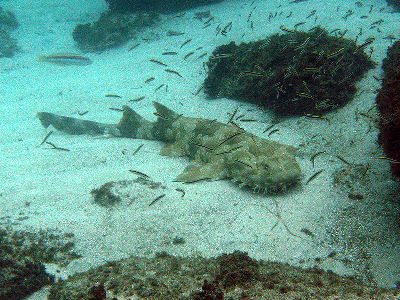 Shark  -  Spotted Wobbegong