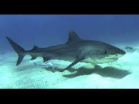 Tiger Shark image