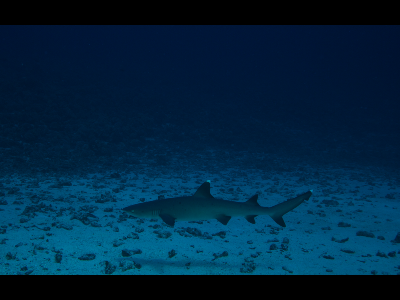 Shark  -  White Tip Reef Shark