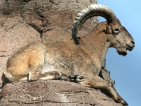 Barbary Sheep image