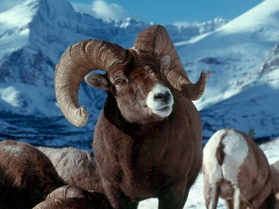 Sheep  -  Bighorn Sheep