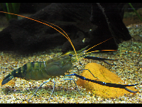 Giant River Prawn image