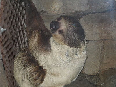 Sloth  -  Hoffmann's Two-toed Sloth