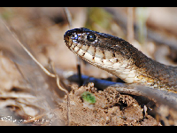 Northern Water Snake image