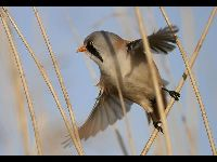 Bearded Reedling image