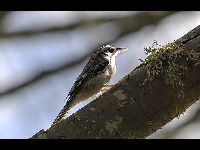 Brown Creeper image