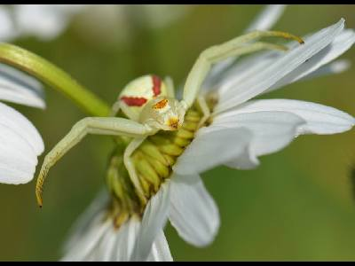 Spider  -  Goldenrod Spider