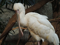 African Spoonbill image