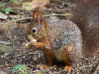 Eurasian Red Squirrel image