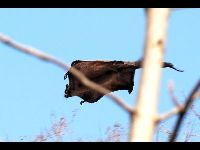 Indian Giant Flying Squirrel image