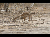 Striped Ground Squirrel image