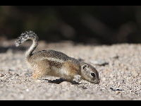 White-tailed Antelope Squirrel image