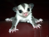 Squirrel Glider image