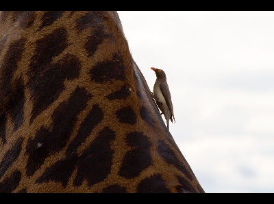 Starling  -  Red-billed Oxpecker