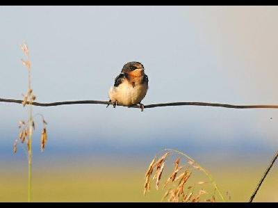 swallow/swallow_Barn_Swallow